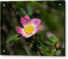 Acrylic Print featuring the photograph Dog-rose by Leif Sohlman