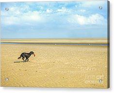 Dog Running On A Beach Acrylic Print by Diane Diederich