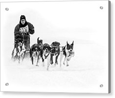Dog Sled Team Acrylic Print