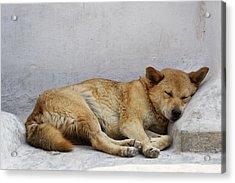 Dog Sleeping Acrylic Print