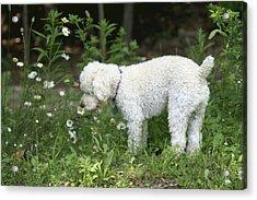 Dog Smelling Daisies Acrylic Print by Carolyn Reinhart