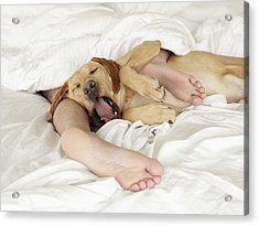 Dog Tangled Up In Person's Feet In Bed, Yawning Acrylic Print by Steven Puetzer