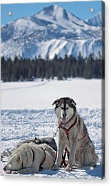 Dog Team Acrylic Print