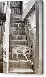 Dog Tired Acrylic Print