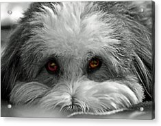 Coton Eyes Acrylic Print by Keith Armstrong