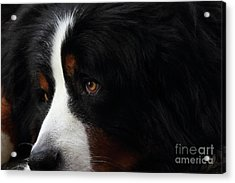 Dog Acrylic Print by Wingsdomain Art and Photography