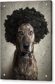 Dog With A Crazy Hairdo Acrylic Print by Chad Latta