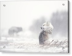 Dogs In The Storm Acrylic Print