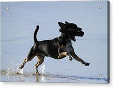 Dogs Just Wanna Have Fun Acrylic Print by Noel Elliot