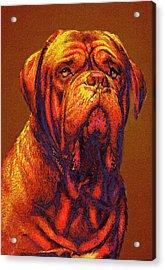 Dogue De Bordeaux Acrylic Print by Jane Schnetlage