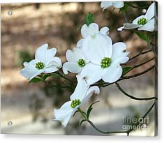 Acrylic Print featuring the photograph Dogwood 2 by Andrea Anderegg