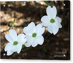 Acrylic Print featuring the photograph Dogwood by Andrea Anderegg
