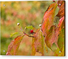 Acrylic Print featuring the photograph Dogwood Berrie by Nick Kirby