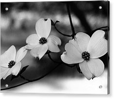 Dogwood Black And White Acrylic Print by Andrea Anderegg