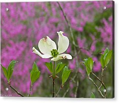 Dogwood Bloom Against A Redbud Acrylic Print