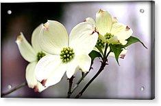 Dogwood Blooms Acrylic Print