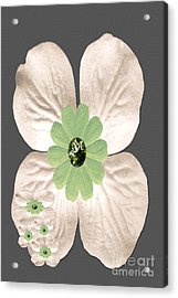Dogwood Blossoms Acrylic Print by Tina M Wenger