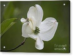 Dogwood Blossom Acrylic Print by Arlene Carmel