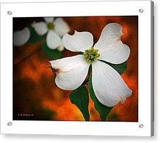 Dogwood Blossom Acrylic Print by Brian Wallace