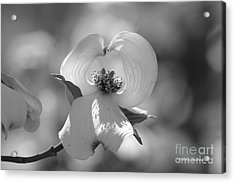 Acrylic Print featuring the photograph Dogwood Blossom by Tannis  Baldwin