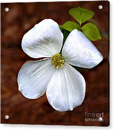 Dogwood Blossom Yosemite Acrylic Print