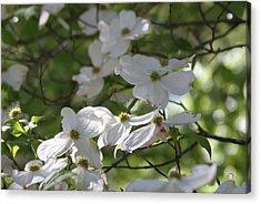 Dogwood Blossoms 3 Acrylic Print