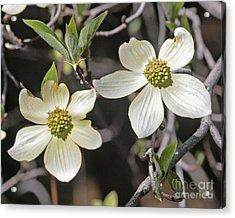 Dogwood Blossoms Acrylic Print by Kenny Bosak