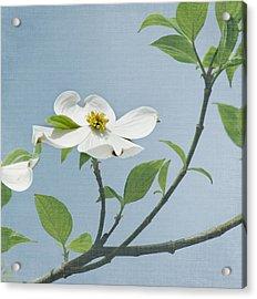 Dogwood Blossoms Acrylic Print by Kim Hojnacki