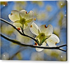 Dogwood Blossoms Acrylic Print by Linda Brown