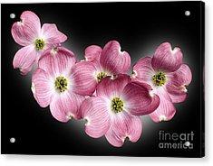 Dogwood Blossoms Acrylic Print by Tony Cordoza