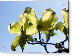 Dogwood Blossoms Acrylic Print by Ursula Lawrence