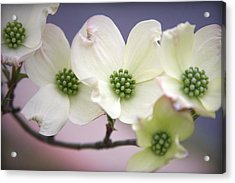 Dogwood Acrylic Print by CarolLMiller Photography