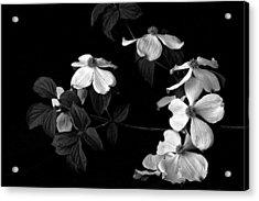Dogwood Acrylic Print