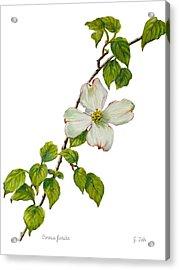 Dogwood - Cornus Florida Acrylic Print