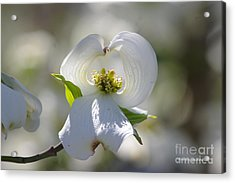 Acrylic Print featuring the photograph Dogwood Flower by Tannis  Baldwin