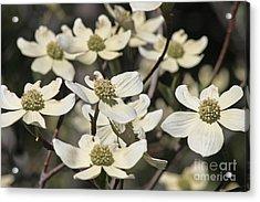Dogwood Flowers Acrylic Print by Kenny Bosak