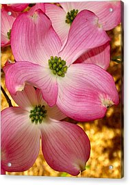 Dogwood In Pink Acrylic Print