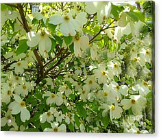 Acrylic Print featuring the photograph Dogwood Kissed By The Sun by Becky Lupe