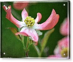 Dogwood Season Number Five Acrylic Print