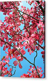 Dogwood Tree Flowers And Blue Sky Acrylic Print by Eva Kaufman