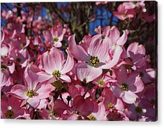 Dogwood Tree Flowers Art Prints Floral Acrylic Print by Baslee Troutman