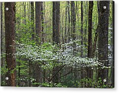 Dogwood Trees In A Forest, Little Acrylic Print