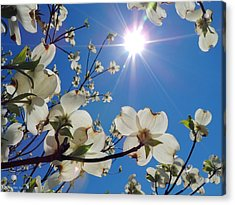 Dogwood Under Cool Blue Skies Acrylic Print