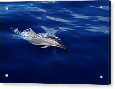 Dolphin Breaking Free Acrylic Print by John  Greaves
