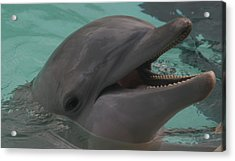 Dolphin Acrylic Print by Dervent Wiltshire