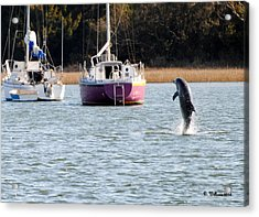 Dolphin In Taylors Creek Acrylic Print