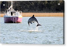 Dolphin Jumping In Taylors Creek Acrylic Print