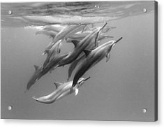 Dolphin Pod Acrylic Print by Sean Davey