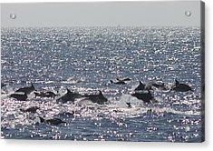 Dolphin Pod Acrylic Print by Valerie Broesch