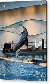 Dolphin Show - National Aquarium In Baltimore Md - 1212235 Acrylic Print by DC Photographer